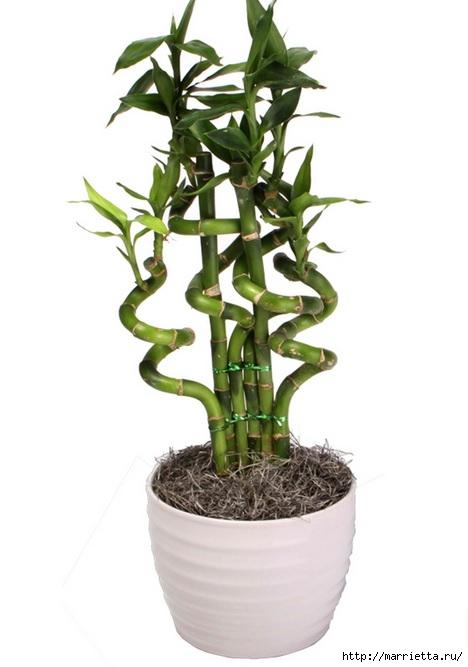 Комнатный бамбук. Красивые идеи и уход за бамбуком в воде (19) (468x667, 110Kb)