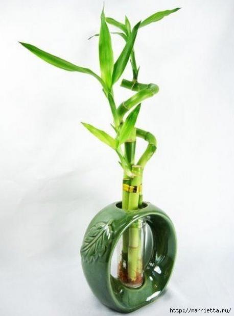 Комнатный бамбук. Красивые идеи и уход за бамбуком в воде (23) (458x620, 100Kb)