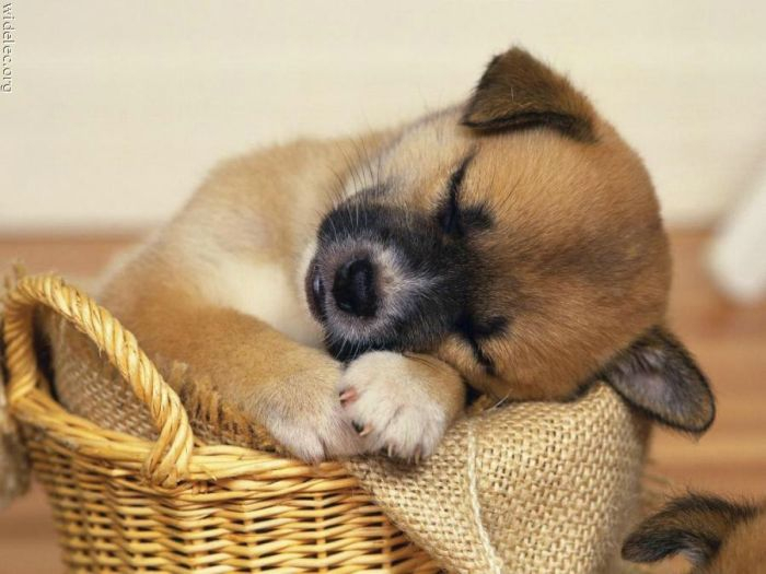 cute_puppies_41 (700x525, 233Kb)