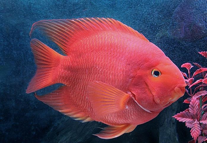 4. красный попугай (700x485, 436Kb)