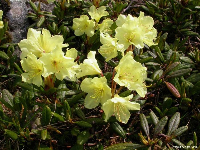 rododendron aurium (700x525, 406Kb)
