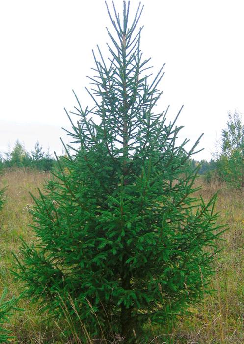 Глаука Коника – маленькое дерево зимнего счастья (5) (497x700, 452Kb)