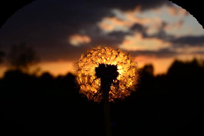 dandelion-336430_640 (700x465, 296Kb)