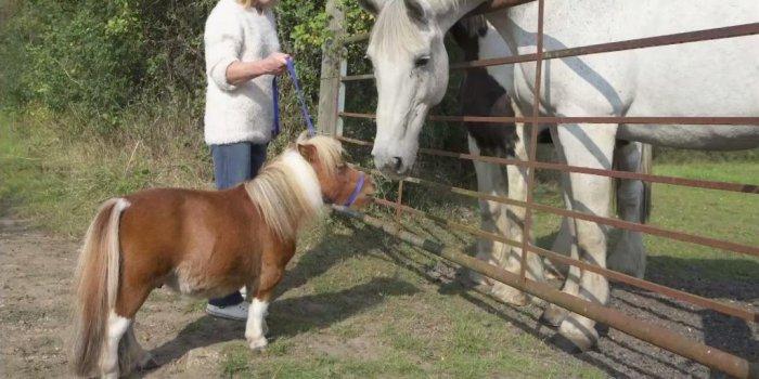 карликовый пони Эйвер фото 6 (700x350, 203Kb)
