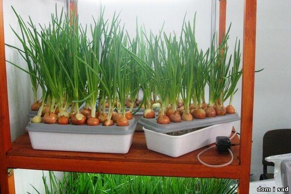 Как самостоятельно выращивать зимой зелёный лук дома и в квартире на подоконнике (1) (600x400, 201Kb)