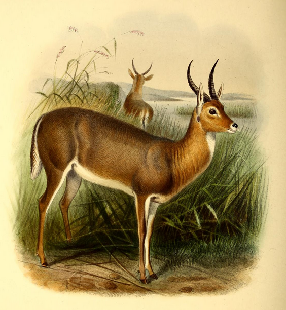 The_book_of_antelopes_(1894)_Cervicapra_arundinum (564x612, 546Kb)