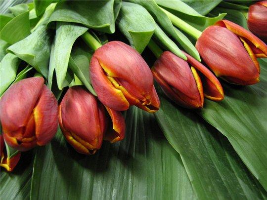 <br />                         Пять пылающих тюльпанов<br />                         У твоих дверей<br />                         Я оставлю завтра в память<br />                         О любви своей!<br />                         Пять тюльпанов в день рожденья<br />                         Я дарю, любя,<br />                         Пять тюльпанов<br />                         В день рожденья<br />                         Для тебя, лишь для тебя. (С)