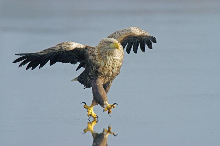 eagle орел
