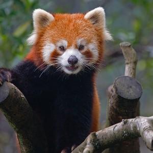 красная панда (300x300, 25Kb)
