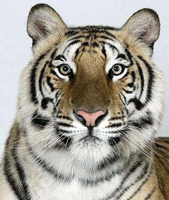 Четыре вида бенгальского тигра