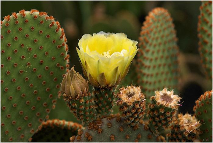 http://img0.liveinternet.ru/images/attach/c/0//43/233/43233300_cvetuschiy_kaktus_V_odnom_iz_parkov_Marrakesha__2734683.jpg