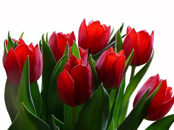 Красные тюльпаны jpg (600x450, 78Kb)
