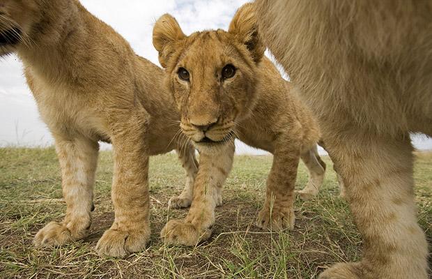 Львы в Масаи Мара