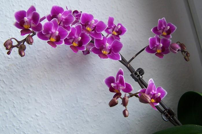 Картинки по запросу орхидея фиолетовая фото