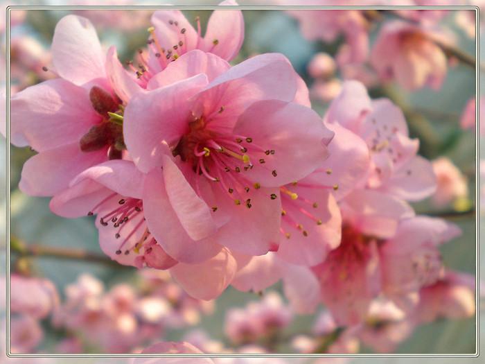 ветка персика