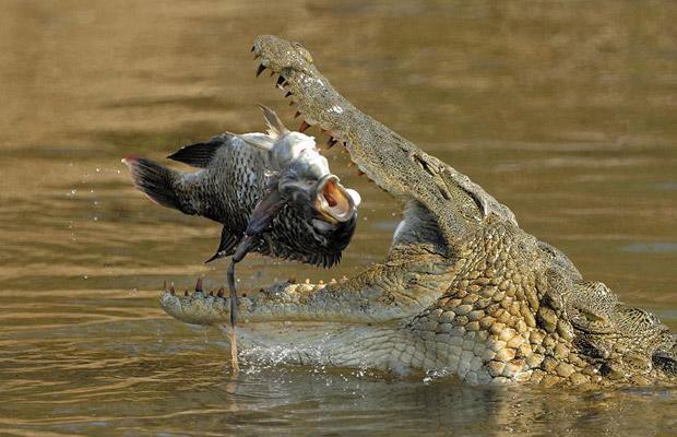 Южная Африка крокодил