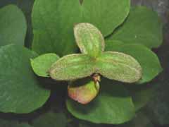 цветёт женьшень
