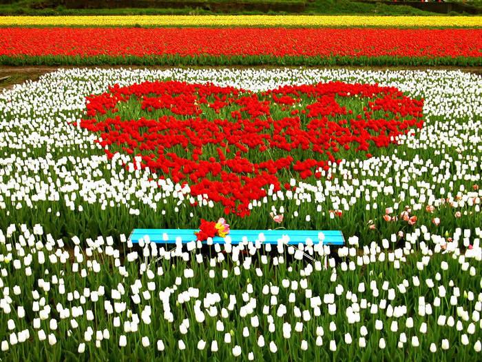 Цветы СЕРЦЦЕ ИЗ ТЮЛЬПАНОВ И СКАМЕЙКА (700x525, 147Kb)