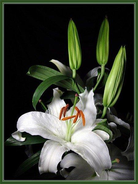 Символ цветок лилия