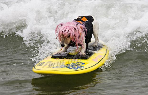 Конкурс серфинга среди собак