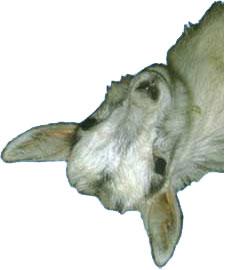 Хитрый Козёл (картинка с чудесного сайта hyaenidae.narod.ru)