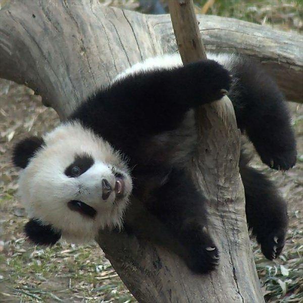 панда (600x600, 64Kb)