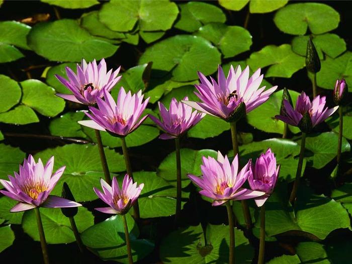 Водяные лилии (700x525, 114Kb)