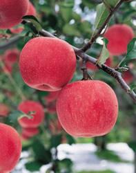 Яблоки (197x250, 16Kb)
