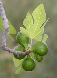 «Обыкновенный инжир — листопадное дерево с редкими ветвями или ветвистый кустарник с серой корой и...