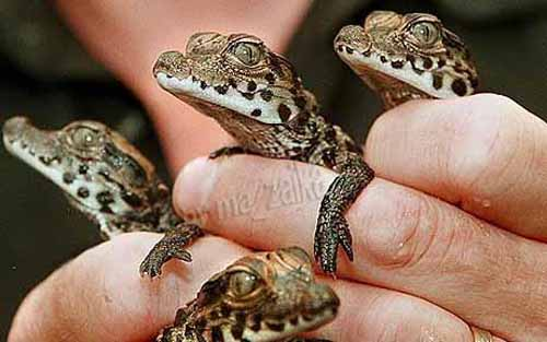Baby Крокодилы