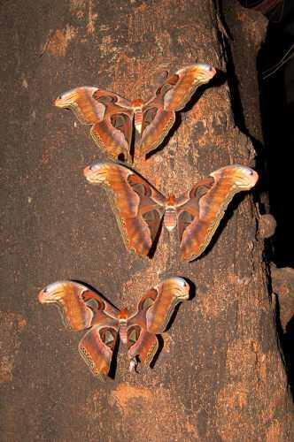 Adult_Atlas_Moths (332x500, 26Kb)