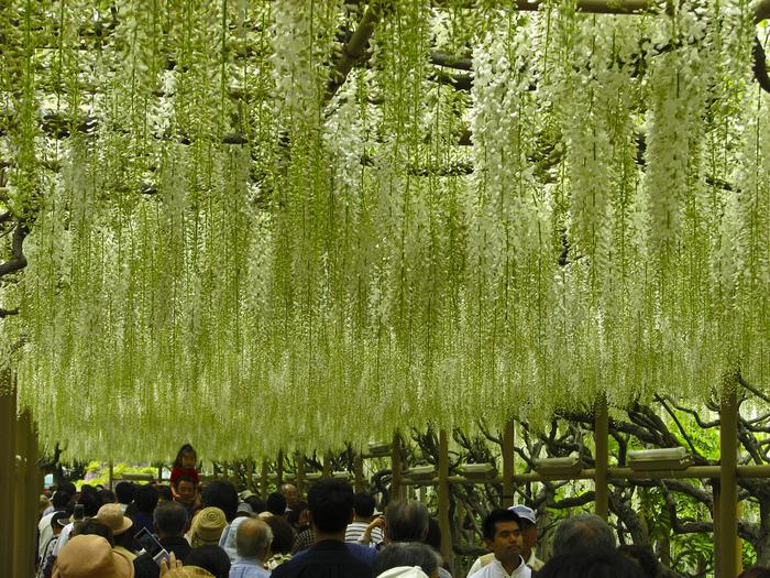 Цветение глицинии в парке цветов Асикага. Япония
