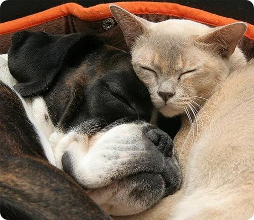 Дружба крепкая ... позитивно ))) 47067637_cat_dog_01