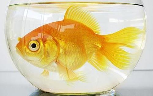 Золотая рыбка 'Пух'