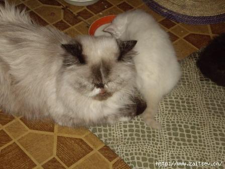 Персидские котята Persian cats Фото с сайта zaitsev.cn Дмитрий Зайцев