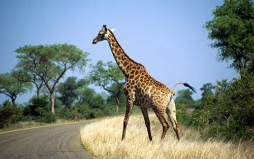 Член у жирафа