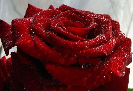 1252296713_rose4 (450x308, 31Kb)