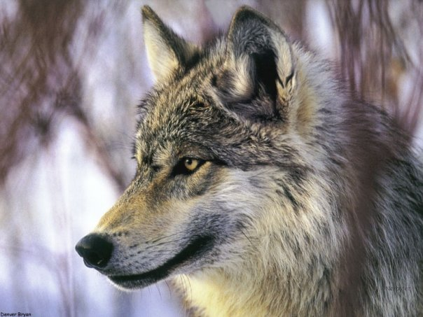 разных картинок с волками....