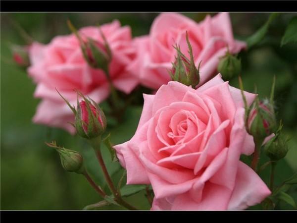 офигительные розы