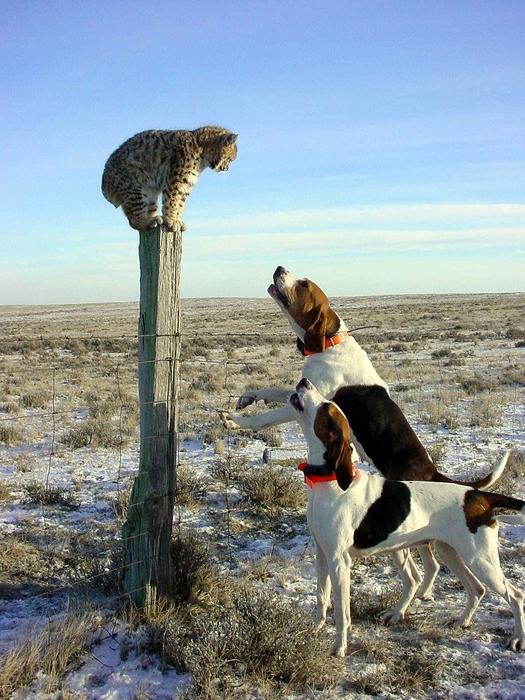 рысь и собаки