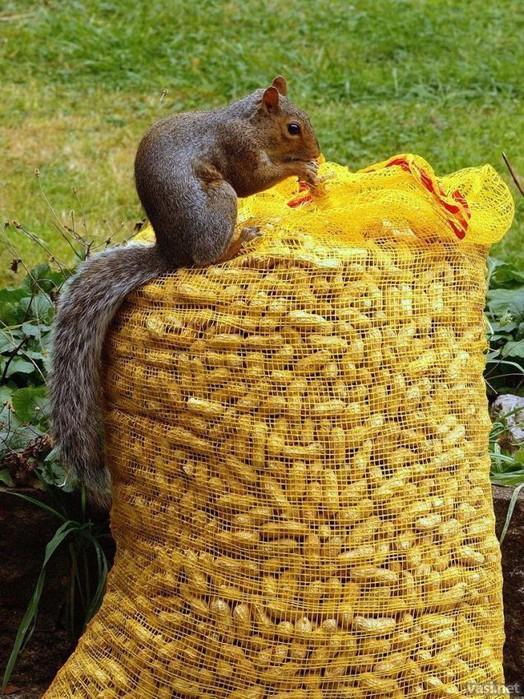 белка и мешок арахиса