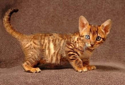Кот тигровой окраски