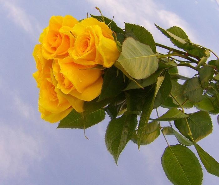 Когда желтые розы дарят