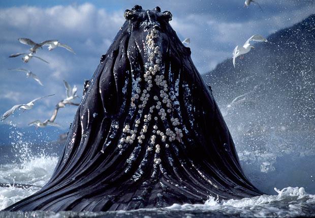 Китолов Дункан Мурелл наблюдает за горбатыми китами.