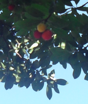 (286x338, 194Kb)Земляничное дерево