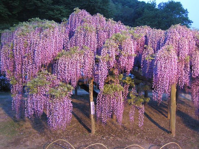 Японский Парк цветов Асикага (Ashikaga Flower Park) -2 49531