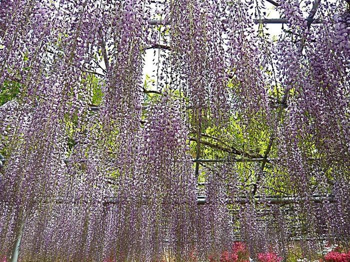 Японский Парк цветов Асикага (Ashikaga Flower Park) -2 36807