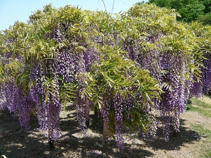 Японский Парк цветов Асикага (Ashikaga Flower Park) -2 65034