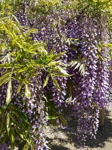 Японский Парк цветов Асикага (Ashikaga Flower Park) -2 35771