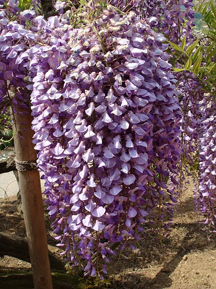 Японский Парк цветов Асикага (Ashikaga Flower Park) -2 83574